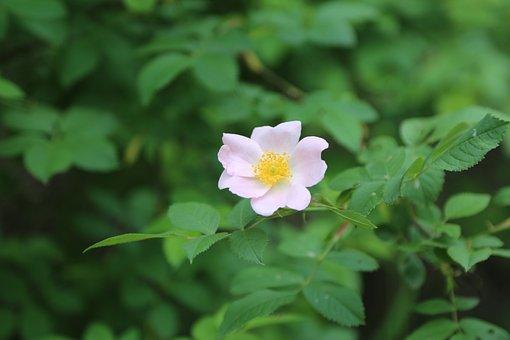 Rosehip, Flower, Plant, Fresh, Flowers