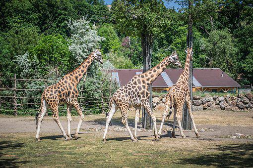 Giraffe, Fauna, Pilsen Zoo, Animals