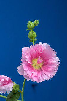 Hollyhock, Flower, Plant, Wild Flowers, Hua Xie, Red
