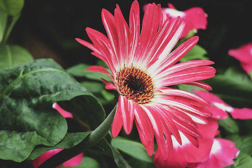 Gerbera, Flower, Plant, Wild Flowers, Hua Xie, Red