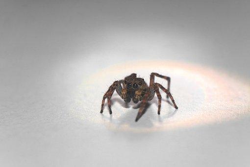 Skakun, Spider, Macro, Insect