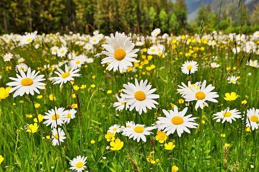 Nature, Landscape, Meadow, Flowers, Flowering Meadow