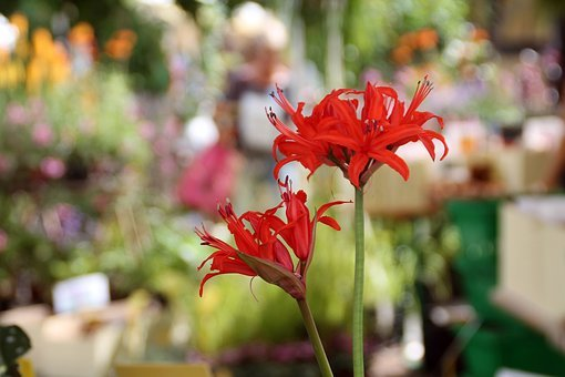 Lily, Farmer's Market, Hesse Park, Close, Red, Audience