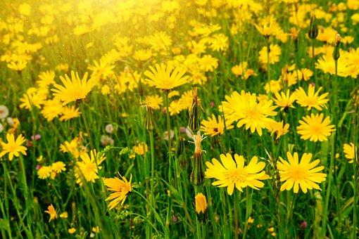 Marigold, Meadow, Flower Meadow, Calendula Officinalis