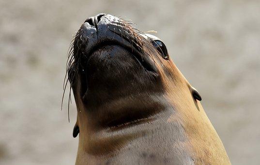 Seal, Sea Lion, Swim, Water, Robbe, Meeresbewohner