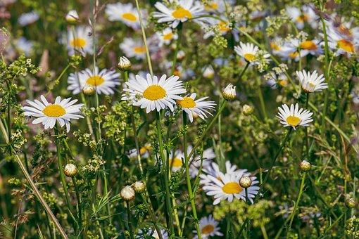 Daisies, Flowers, Bloom, Nature, Meadow, Flower Meadow