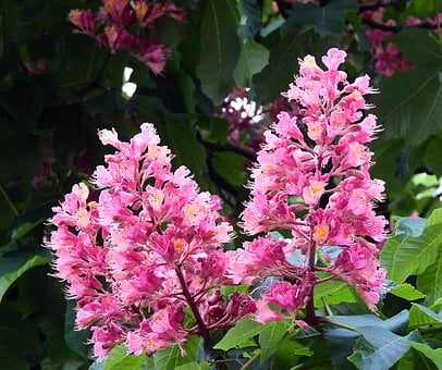 Horse Chestnut Red, Beauty, Nature, Spring
