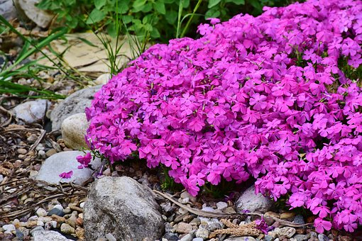 Phlox, Plant, Pink, Polemoniaceae, Flower Garden