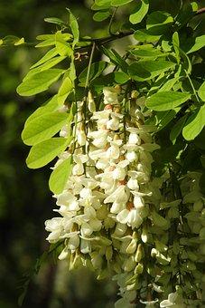 Acacia, Bush, Nature, Ornamental Shrubs, Plants