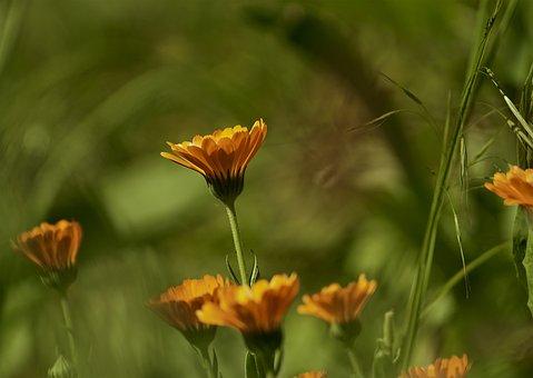 Nature, Plants, Flowers, Plant, Flower, Daisy, Orange