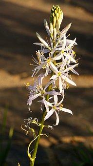 Prairie Lily, Camassia Cusickii, Lily, Blossom, Bloom