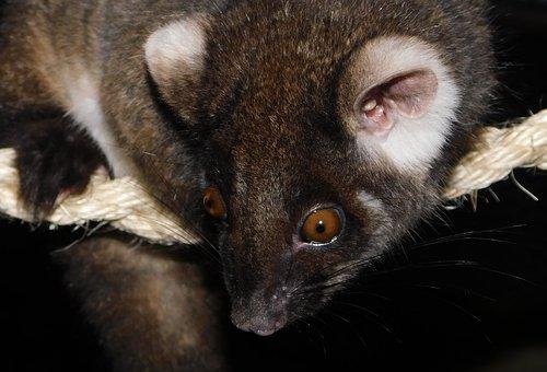 Ringtail Possum, Possum, Marsupial, Wildlife, Australia