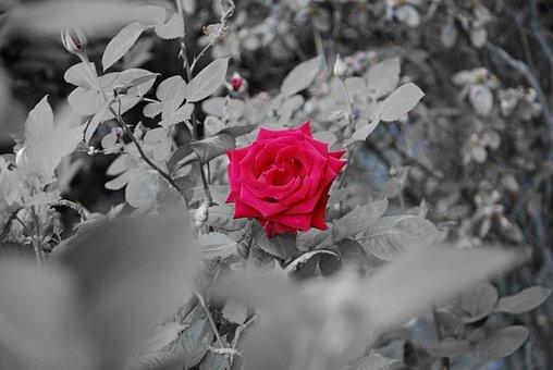 Rose, Flower, Summer, Red Rose, One Rose, Garden, Red