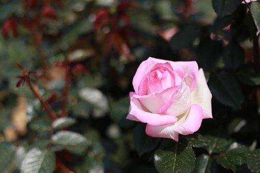 Rose, Pink Roses, Flowers, Pink Rose, Beautiful