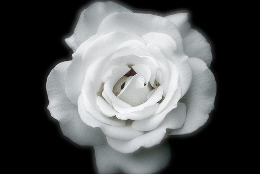 Roses, Petals, White, Rose Petals, Flower, Spring