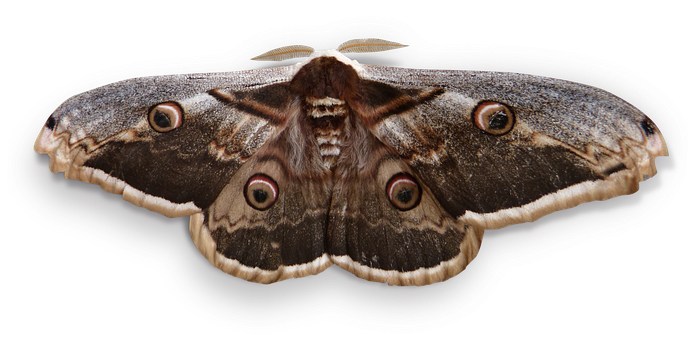 Night Butterfly, Butterfly Giant, Saturnia Pyri