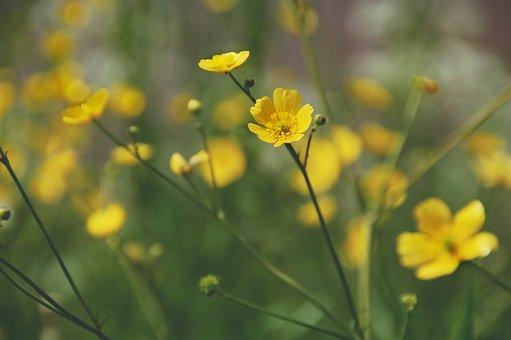 Buttercups, Berm, Yellow Flower, Spring, Bloom, Nature