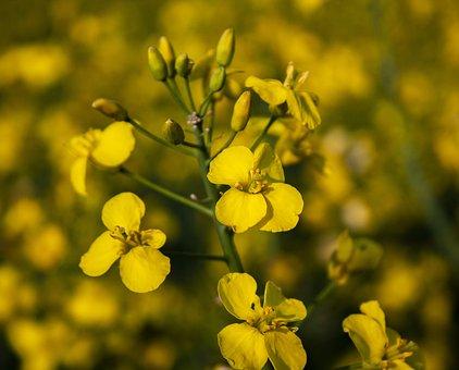 Oilseed Rape, Field, Nature, Spring, Fields