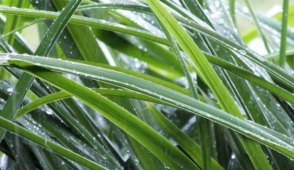 Rain, It Rains, Drops, Wet, Drop, Plant, Leaves, Nature