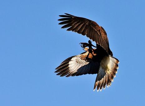 Falcon, Bird Of Prey, Wildlife Photography, Bird