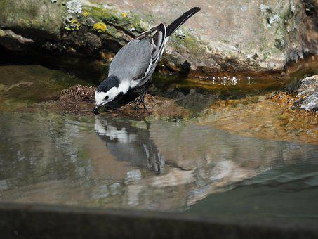 Bird, Water, Nature, Drinking, Animals, Animal, Outdoor