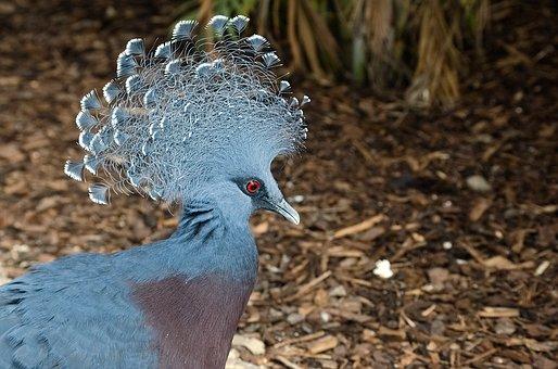 Bird, Dove, Krontaube, Animal, Zoo