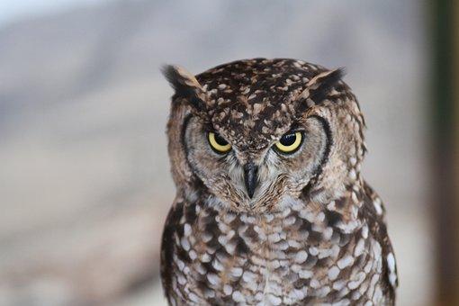 Owl, Bird Of Prey, Night, Bird, Ave, Falconry