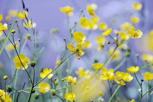 Buttercup, Berm, Bloom, Yellow, Leaves, Spring, Plants