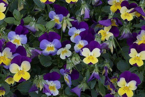400–500, Blossom, Bloom, Violaceae, Close, Colorful