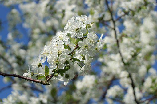 Cherry Blossoms, Flowers, Spring, Cherry, Nature