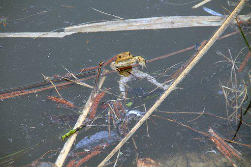 Common Toad, Pond, Spawn, Toad Migration, Nature