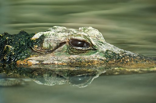 Crocodile, Reptile, Animal, Lizard, Alligator