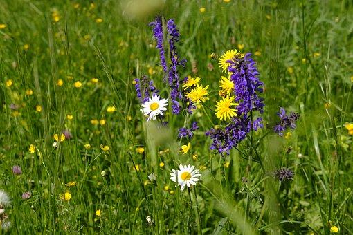 Meadow, Flower Meadow, Daisy, Dandelion, Sage