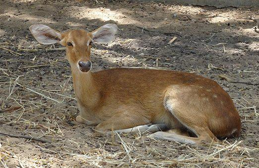 Deer, Sangai, Eld's Deer, Female, Rucervus Eldii Eldii
