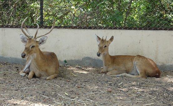 Deer, Sangai, Eld's Deer, Male, Rucervus Eldii Eldii