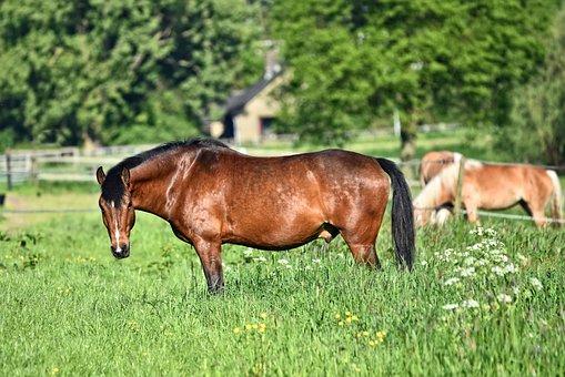 Horse, Animal, Mammal, Equine, Roan, Domestic