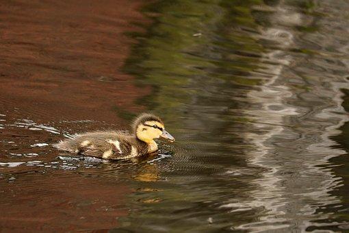 Chicks, Duck, Duck Baby, Ducky, Cute, Fluff, Small