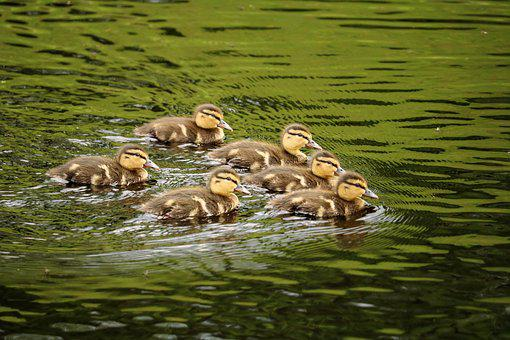 Ducklings, Chicks, Ducky, Group, Boy, Small, Water Bird