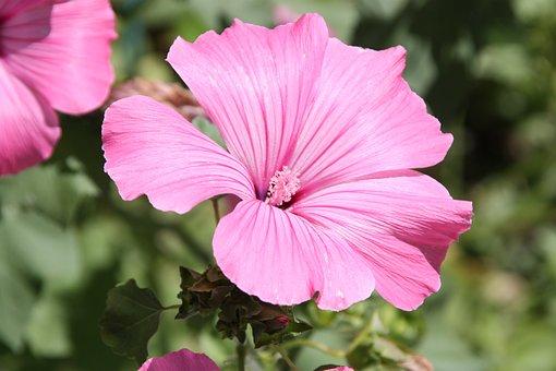 Flower, Petunia, Pink Flower, Balcony Plant, Plant