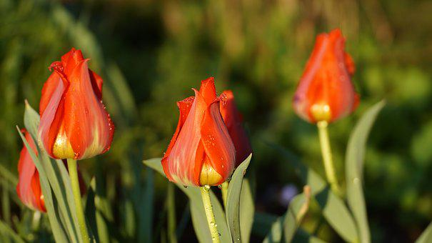 Tulips, Red Tulip, Blossom, Bloom, Flowers