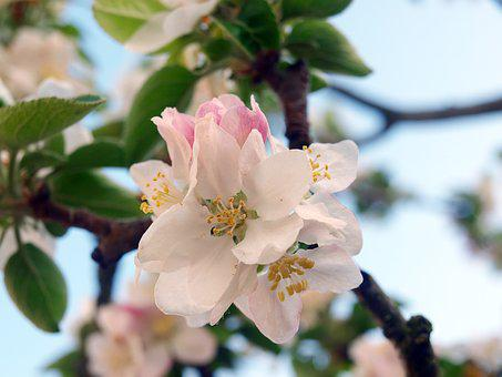Flower Apple Tree, Flowers, Spring, Flowery Branch