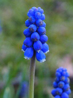 Grape Flower, Blue, Garden, Blue Flower