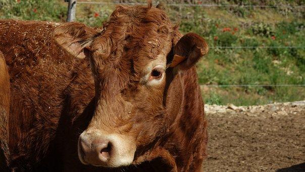 Heifer, Cow