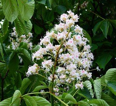 Horse Chestnut White, Nature, Flower Chestnut