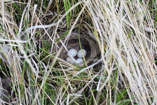 Junco, Nest, Eggs, Bird