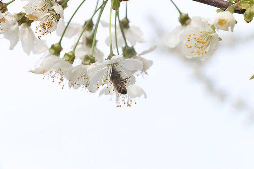 Flowers, Cherry, Bloom, Bee, Macro, Insect, Insects