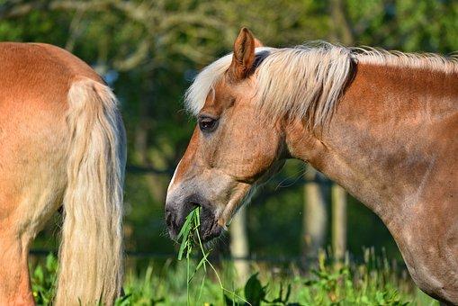 Horse, Animal, Mammal, Equine, Head, Mane, Mouth, Grass