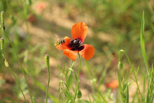 Poppy, Meadow, Insect, Bee, Poppy Flower