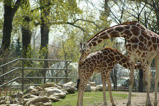 Giraffe, Zoo, Animal, Wild, Nature, Wildlife, Mammal