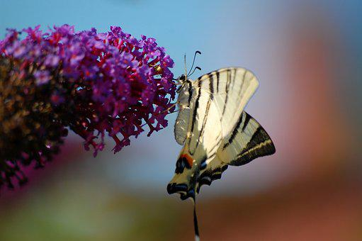 Butterfly, Insect, Nature, Flying Insects, Macro